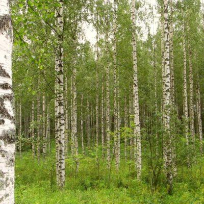 bosque abedules