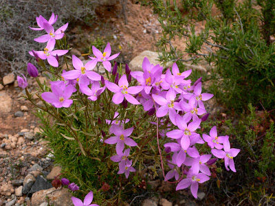 Flores de cachanlagua