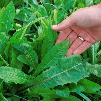 Achicoria amarga hojas