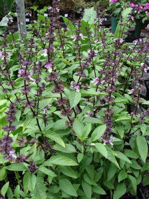 albahaca plantas
