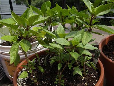 planta albahaca en macetero