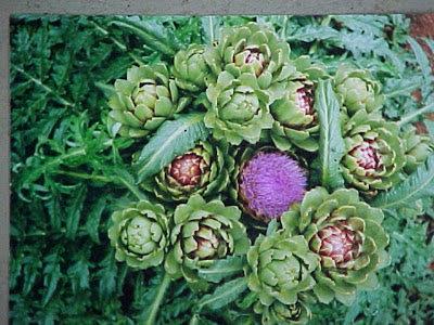 alcachofera planta