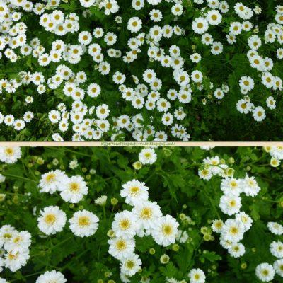 artemisa-matricaria planta