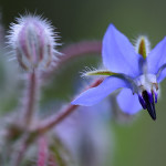 Borraja – (Borago officinalis).