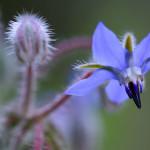Borraja – (Borago officinalis).