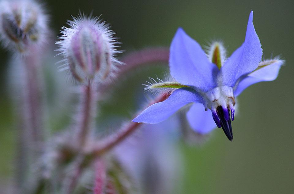 Borraja – (Borago officinalis). Propiedades y formas de uso.