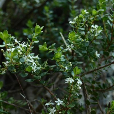 planta buchú