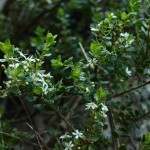 Buchú – (Agathosma betulina).