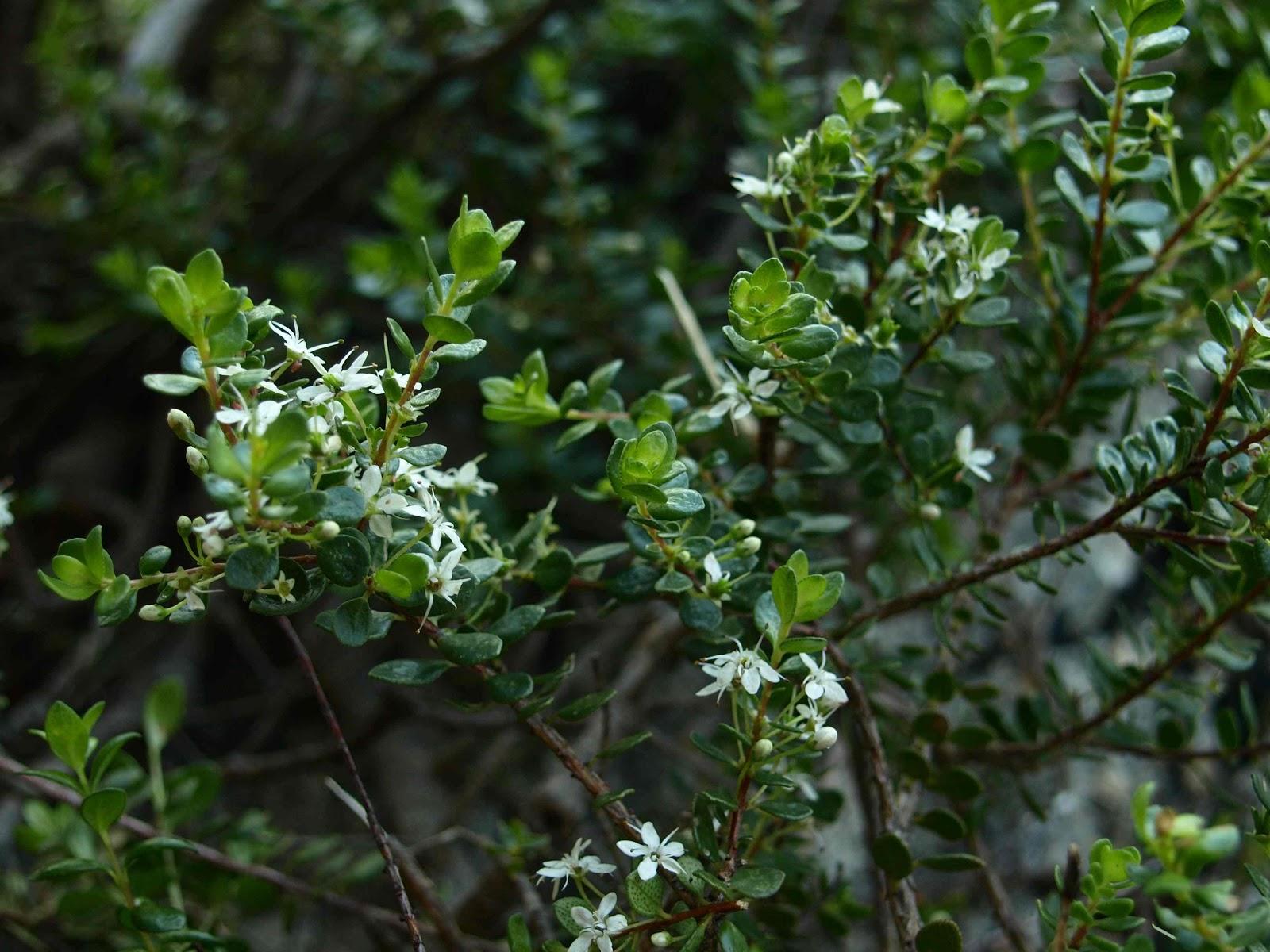 Buchú – (Agathosma betulina). Propiedades y formas de uso.