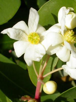 flor del canelo detalle