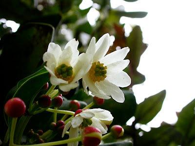 Flores de canelo.