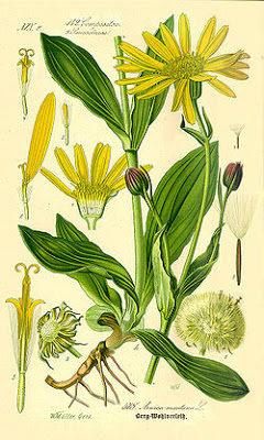 partes de la arnica flor