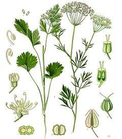 planta anís medicinal