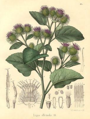 planta bardana lampazo