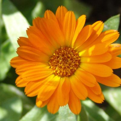 Flor de la caléndula.