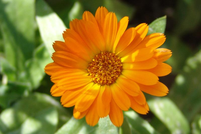 Caléndula – (Calendula officinalis L.). Propiedades y formas de usar.