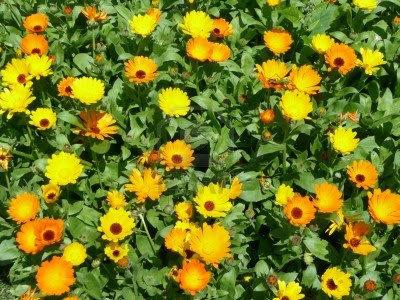 Flores de caléndula.