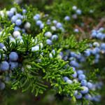 Enebro – ( Juniperus comunis L. )