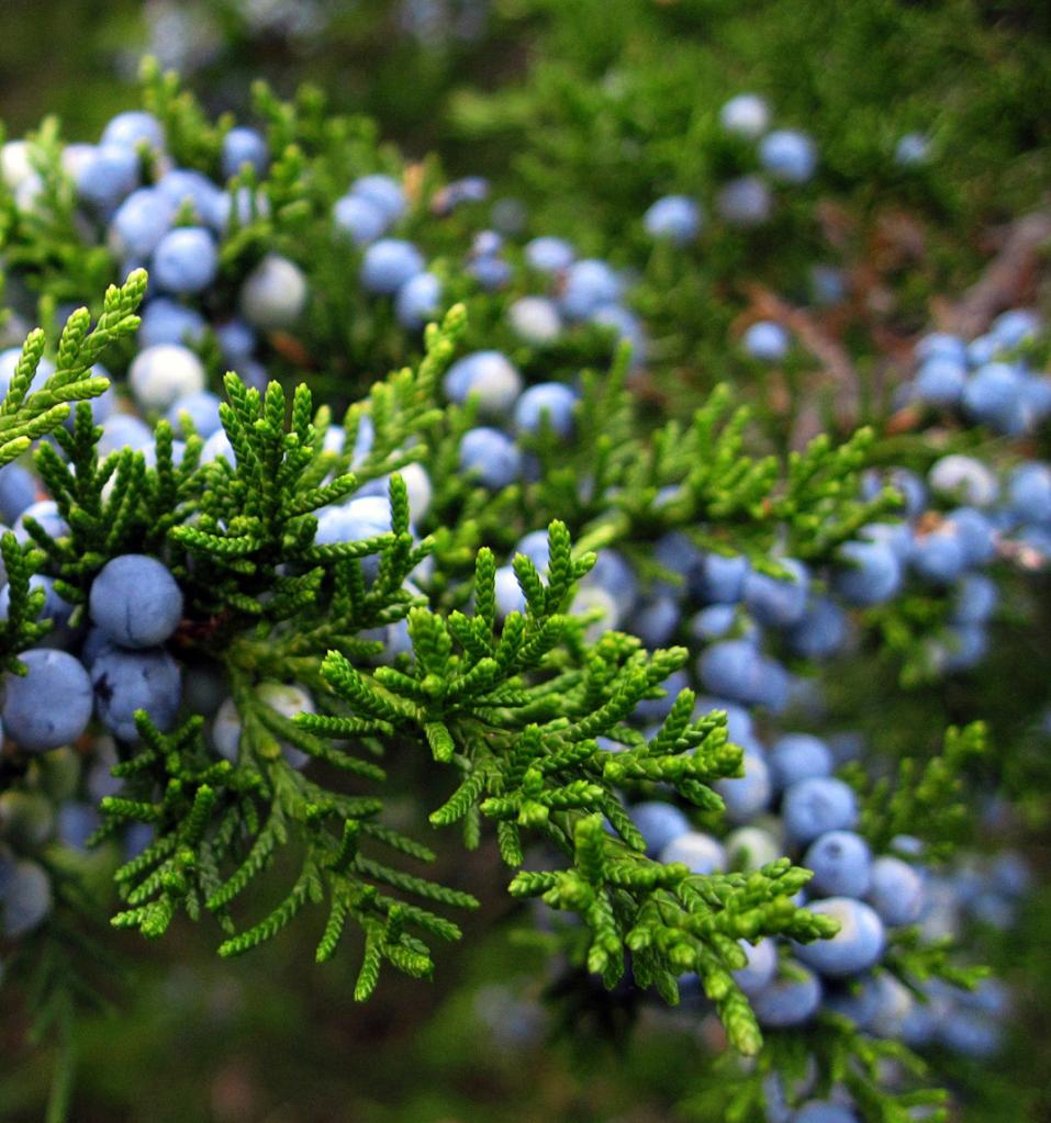 Enebro – ( Juniperus comunis L. ) Propiedades y formas de uso.
