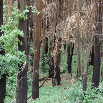 Bosque de eucalipto