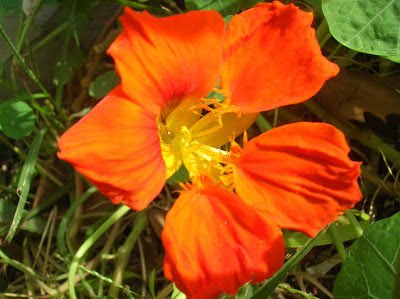 espuela de galan flor medicinal