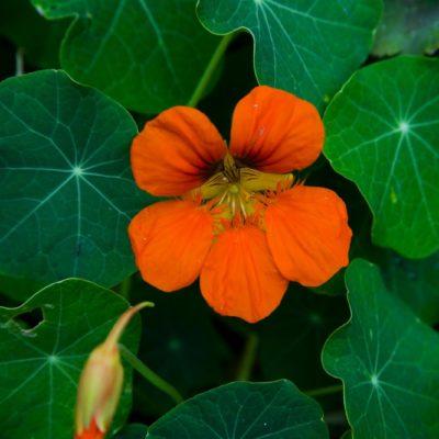 flor espuela de galán 1