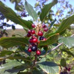 Frángula – (Rhamnus frangula L.)