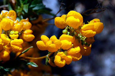 flor hierba dulce 1