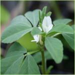 Fenogreco – (Trigonella foenum-graecum L.)