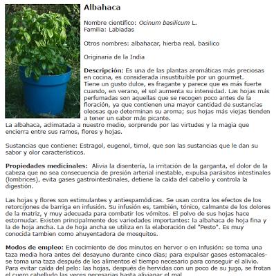 albahaca ficha planta