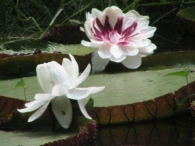 flor victoria 1