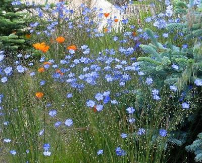 flores de linaza