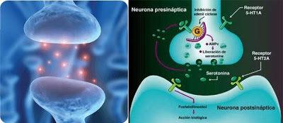 serotonina neurona