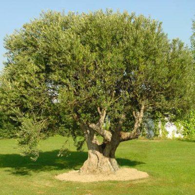 arbol olivo medicinal