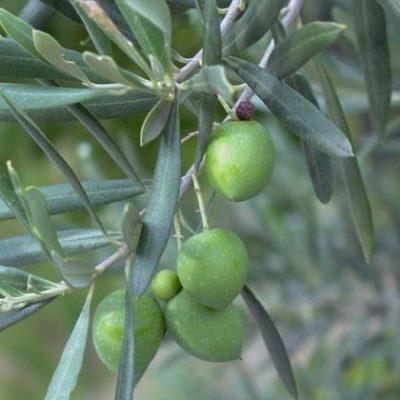 hojas olivo medicinal