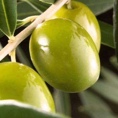olivo propiedades