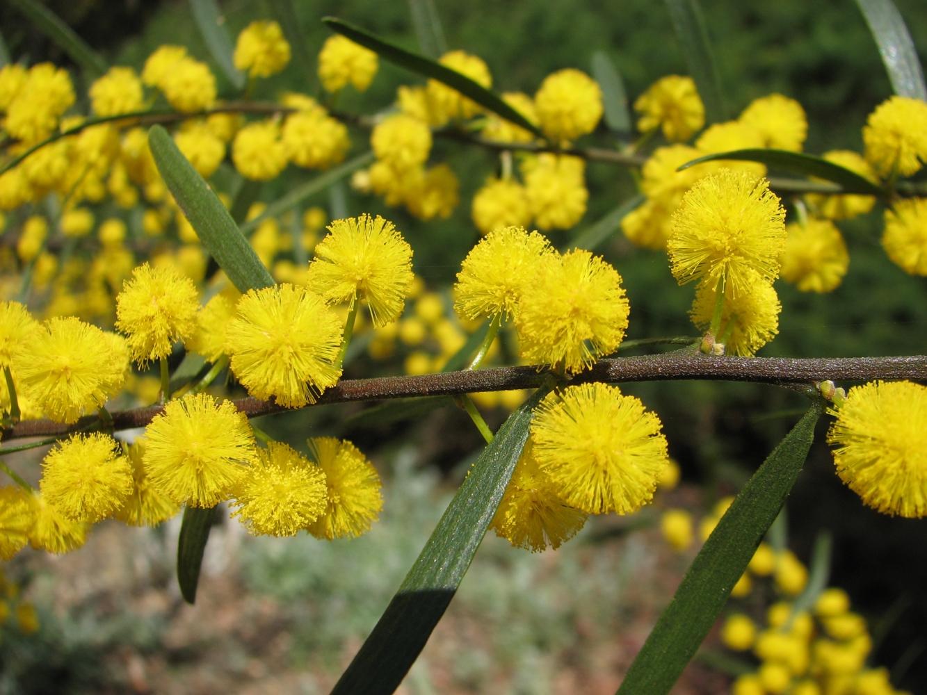 Acacia Una aliada natural contra fiebres y resfríos.