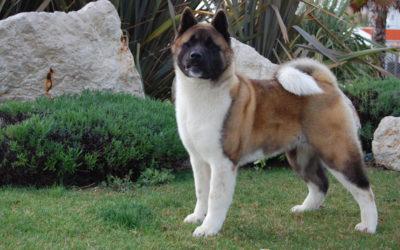 Akita Americano Perro japonés de gran coraje y devoción.