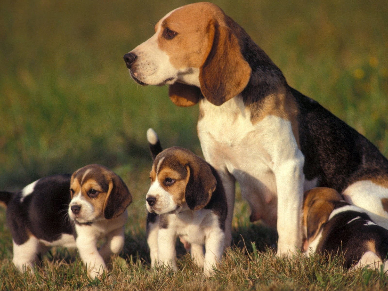 beagle con sus crias
