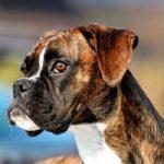 Bóxer – (Deutscher Boxer)