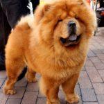 Chow Chow – razas de perros