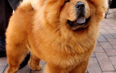Chow Chow – razas de perros Una raza antigua con origen en china.