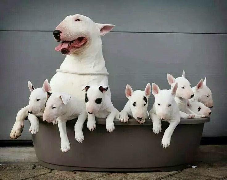 bull terrier con crias