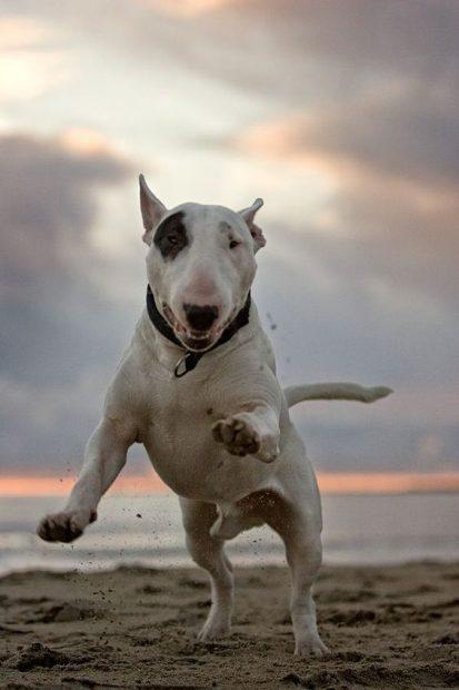 Bull terrier Un perro amante de la diversión, muy activo y cariñoso.