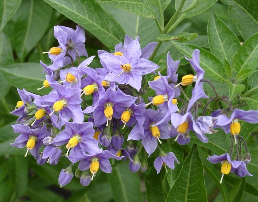 flores de Natre