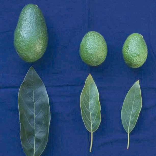 hojas de palto
