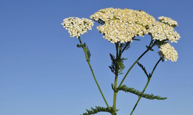 milenrama planta medicinal