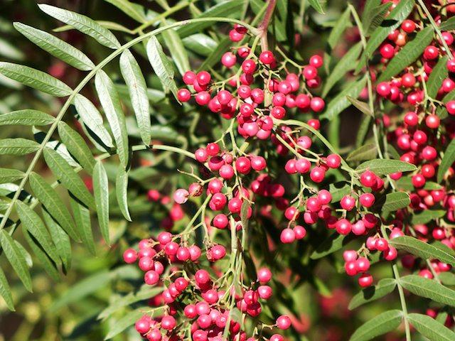 Molle Aprende como utilizar las bondades de esta planta.
