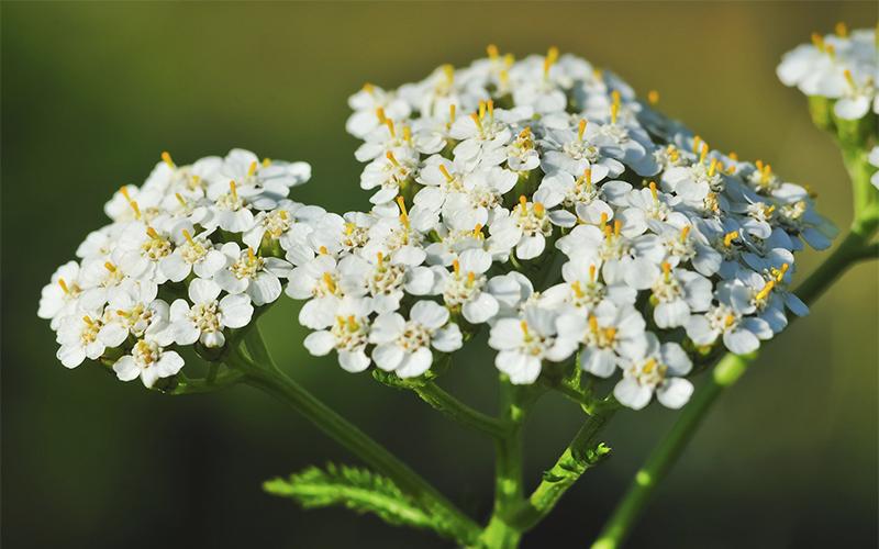 Milenrama Aprende como utilizar las bondades de esta planta.