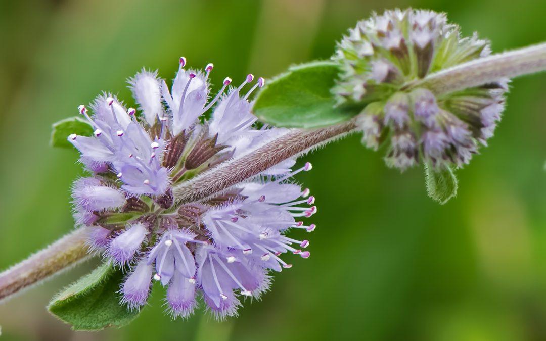 Poleo (Menta poleo) Aprende a utilizar las propiedades de esta planta.